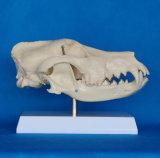 Ensino de biologia de alta qualidade Animal de estimação Anatomia de crânio Modelo científico animal (R190114)