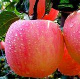 De nieuwe Verse Appelen van het Fruit met Beste Prijs