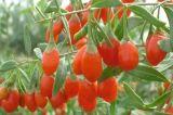 Natuurlijke voeding--De Bessen van Goji