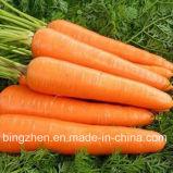 Морковь горячего здоровья зеленого цвета сбывания 2017 свежая от Китая. Консигнант