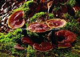 Antiauszug des aushärtungs-Polysaccharid-20% Ganoderma Lucidum