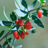 Nespolo all'ingrosso Goji Berry Wolfberry