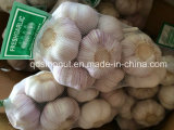 Alho novo do branco de China da colheita