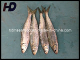 Poissons congelés de sardine de fruits de mer pour le marché (aurita de sardinelle)