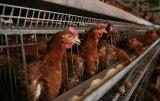 Jaula automática del pollo de la venta caliente (jaula 005 de los taludes)