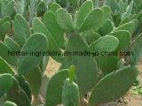 Extrait organique de cactus de Hoodia Gordonii 4: 1 ~ 50: 1
