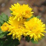 Выдержка цветка хризантемы 100% естественная