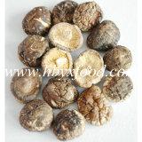 Гриб Shiitake съестных грибков лицевой ровный