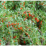 Níspero baya de Goji Wolfberry secada