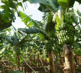Nahrungsmittelgrad-wasserlösliches Bananen-Saft-Puder mit Ineinander greifen 60-80