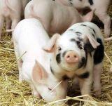 동물 (12%)를 위한 수의학 Salinomycin