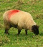 حيوانيّ تأشير [سبري بينت], خروف علامة رذاذ, مواش تأشير دهانة