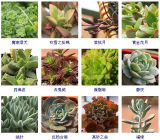 Piante e fiori artificiali della pianta succulente Gu-Jys-00034