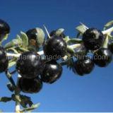Ningxia secco nespola Wolfberry nero organico