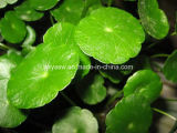 Выдержка 40% Asiaticoside Hydrocotyle выдержки Kola Gotu Asiatica