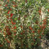 Ягода Goji органических трав Lbp мушмулы красная высушенная