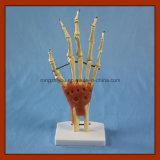 Modello di scheletro di formato della giuntura naturale della mano con i legamenti
