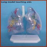 Sussidi didattici di modello anatomici del polmone umano trasparente