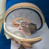 La Science fournit le modèle anatomique de cerveau de tête humaine