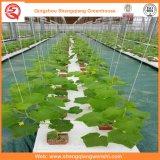 Casas verdes galvanizadas da tubulação da folha do PC/película de vidro/plástica para a morango/Rosa