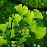 (음식과 보충교재를 위한 manufact) 은행나무 Biloba 잎 추출