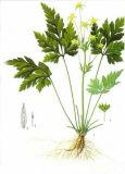Extracto Chinensis Berberine del Coptis y clorhidrato de Berberine