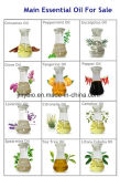 Olio essenziale del tè dell'olio naturale puro dell'albero, olio di massaggio del corpo