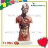Órganos Humanos principal Torso desmontable instalable Escala Modelo anatómico para la Educación