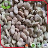 Colheita nova feijões de Fava secados
