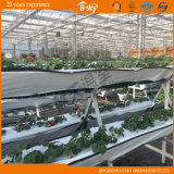 Multi-Span Glass Greenhouse per Agribusiness