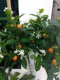 오렌지 나무 Gu1124152554의 베스트셀러 인공적인 플랜트