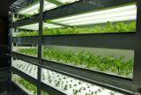 La DEL élèvent le guide optique pour la plantation de légume feuillu