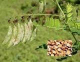 Astragalus Polysacharin Astragaloside a порошка 20% 40% выдержки корня Astragalus высокой очищенности