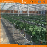 Estesamente Used Multi-Span Glass Greenhouse per Agribusiness