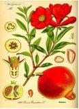 [بومغرنت] هيكل [ب]. [إ]. /Punica [غرنتثم] [ل]. /Plant مقتطف