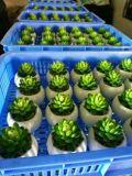 Succulents Gu1470553592449의 베스트셀러 인공적인 플랜트