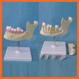 Maxillaire inférieur de simulation de modèle de dents