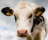 Modifica di orecchio a doppia faccia della modifica di orecchio del maiale per la capra delle pecore