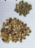 최신 최신 최신 커피 콩 색깔 분류하는 사람