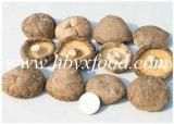Fungo di Shiitake liscio organico all'ingrosso