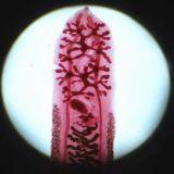 Trasparenze pronte microscopio, trasparenze mediche di parassitologia, trasparenze pronte