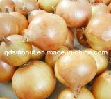 Cebolla fresca de la nueva cosecha