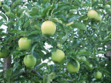 Anti-Diabetes Phloridzin 40%, 95%, extrato da raiz de 98% Apple
