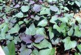 Чисто естественное 20:1 10:1 5:1 выдержки листьев сладкого картофеля