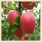 Fruta enlatada barata Apple enlatado de alimento enlatado