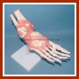 Tipo modello di scheletro dello scrittorio della giuntura a grandezza naturale del piede umano del modello con i legamenti