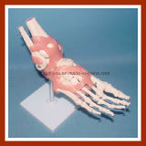 Escritorio Tipo Modelo de tamaño natural humano Modelo Pie conjunta Esqueleto con ligamentos