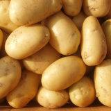 Frische gelbe neue Getreide-Kartoffel (50-100g)