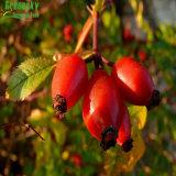 طبيعيّ [روس هيب] ثمرة مقتطف في عشب مقتطف