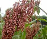 Extrato de sorgo de cereais 100% natural para alimentos e suplementos